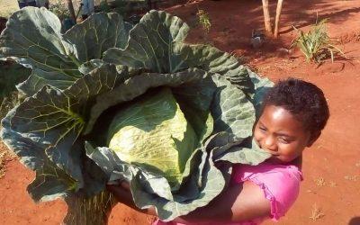 Cabbage Indica Plus harvest time