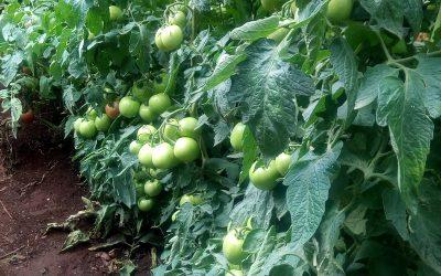 Game changer – Tomato Royale PLUS